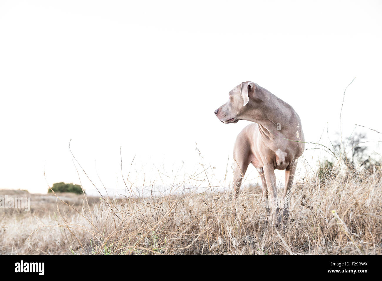 Adult Weimaraner dog standing facing camera, looking off to side in a dry barren field, negative space for copy - Stock Image