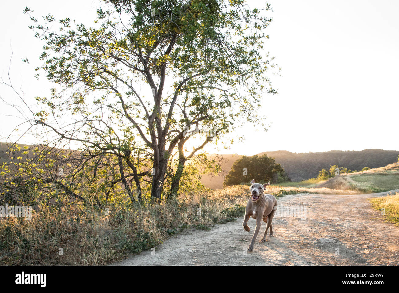 Weimaraner dog running on dirt trail next to large lone tree back lit by sun setting over mountain range - Stock Image