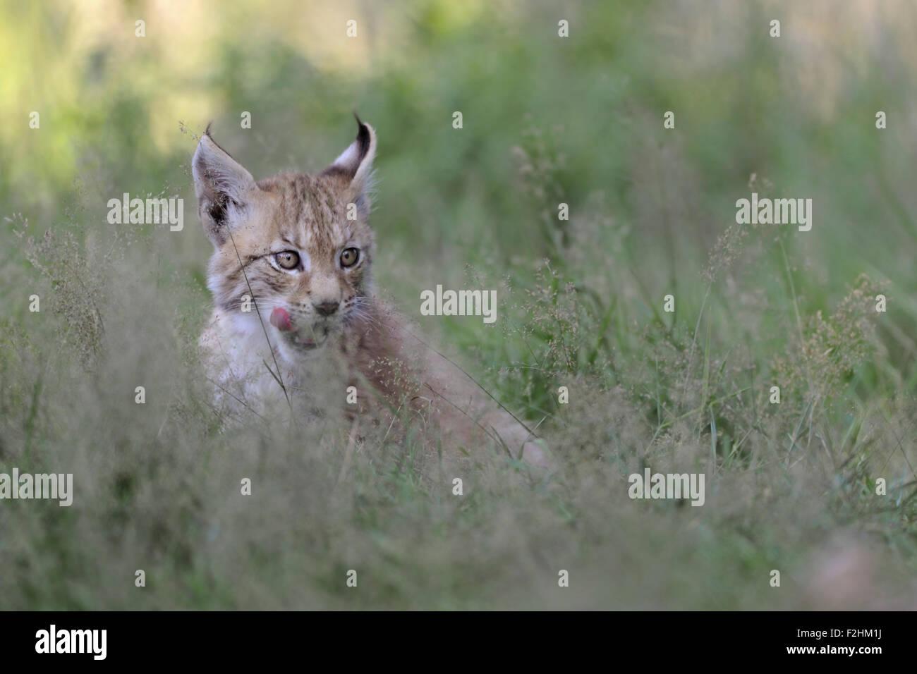 Young cub of Eurasian Lynx / Eurasischer Luchs ( Lynx lynx ) licks deceitful its tongue, looks funny. - Stock Image