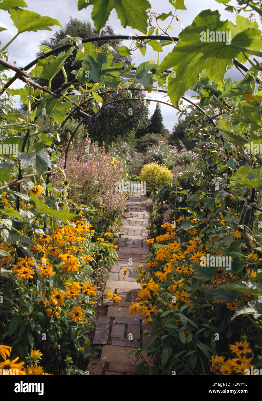 Bright yellow rudbeckia growing on either side of paved path through ...