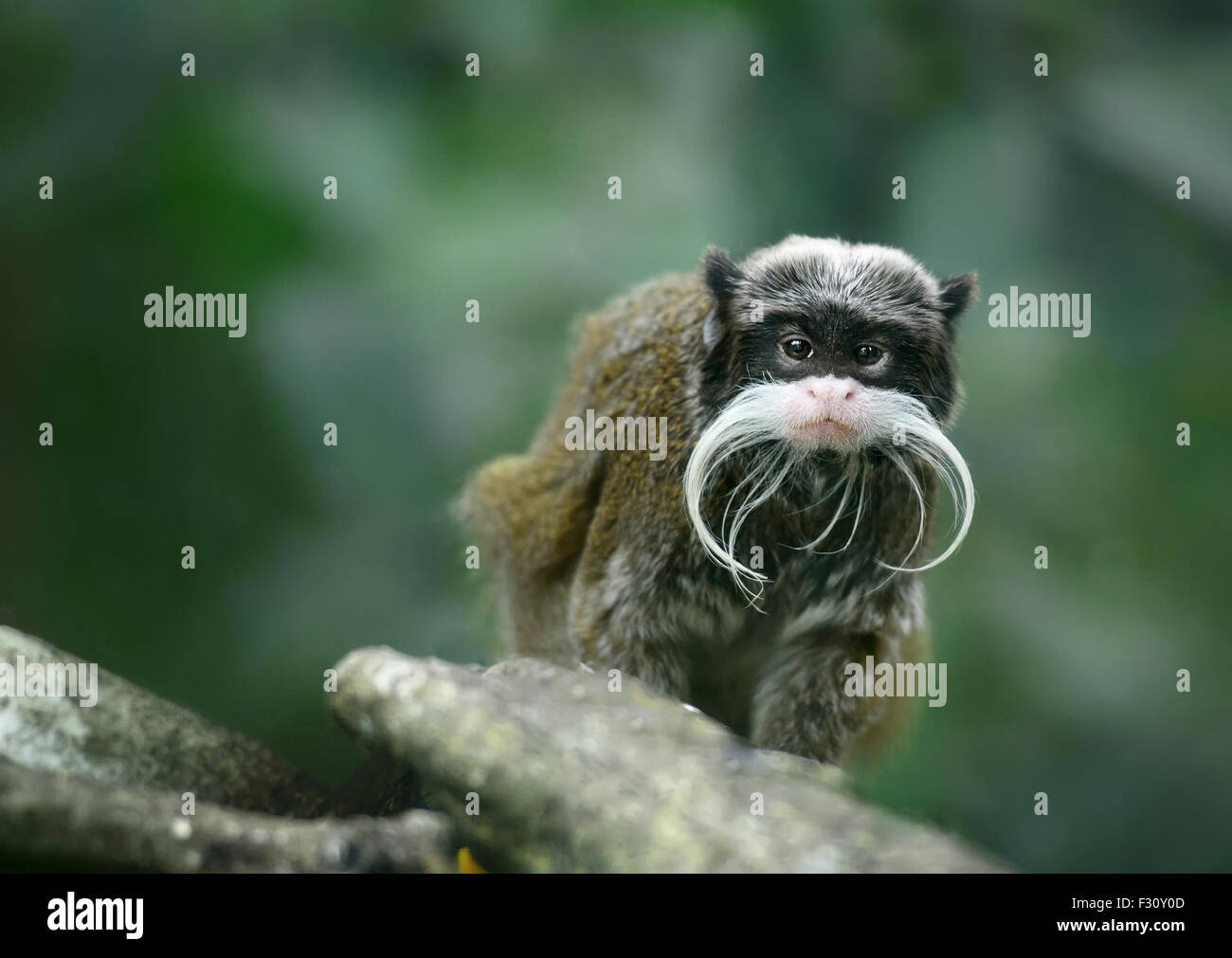 Emperor tamarin monkey with funny mustache - Stock Image