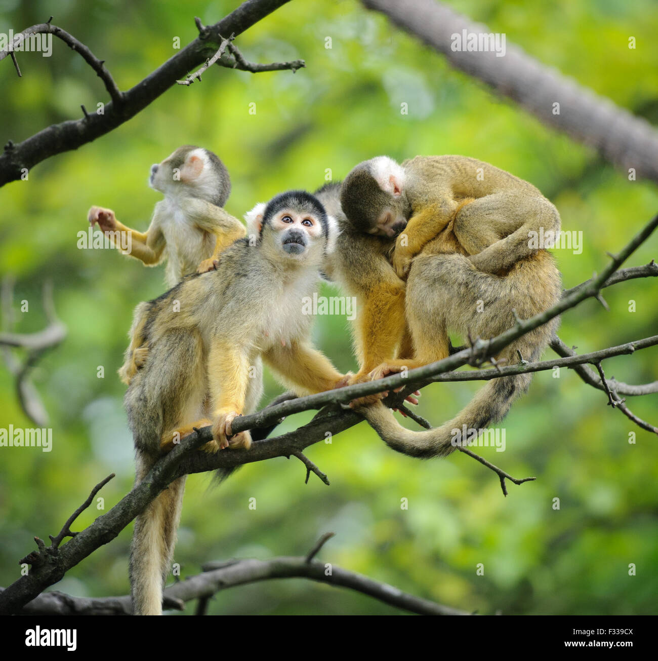 Black-capped squirrel monkeys  sitting on tree branch with their cute little babies - Stock Image