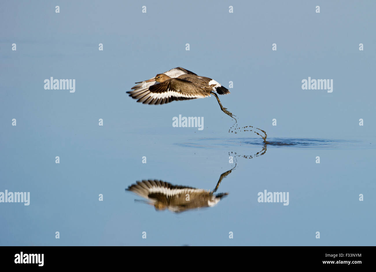 Black-tailed Godwit Limosa limosa taking off from tidal pool Norfolk March - Stock Image