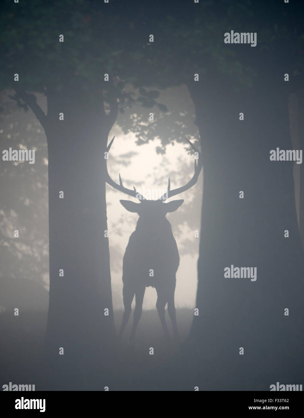 Red Deer (Cervus elaphus) stag during rut on a misty dawn in Richmond Park National Nature Reserve London October - Stock Image