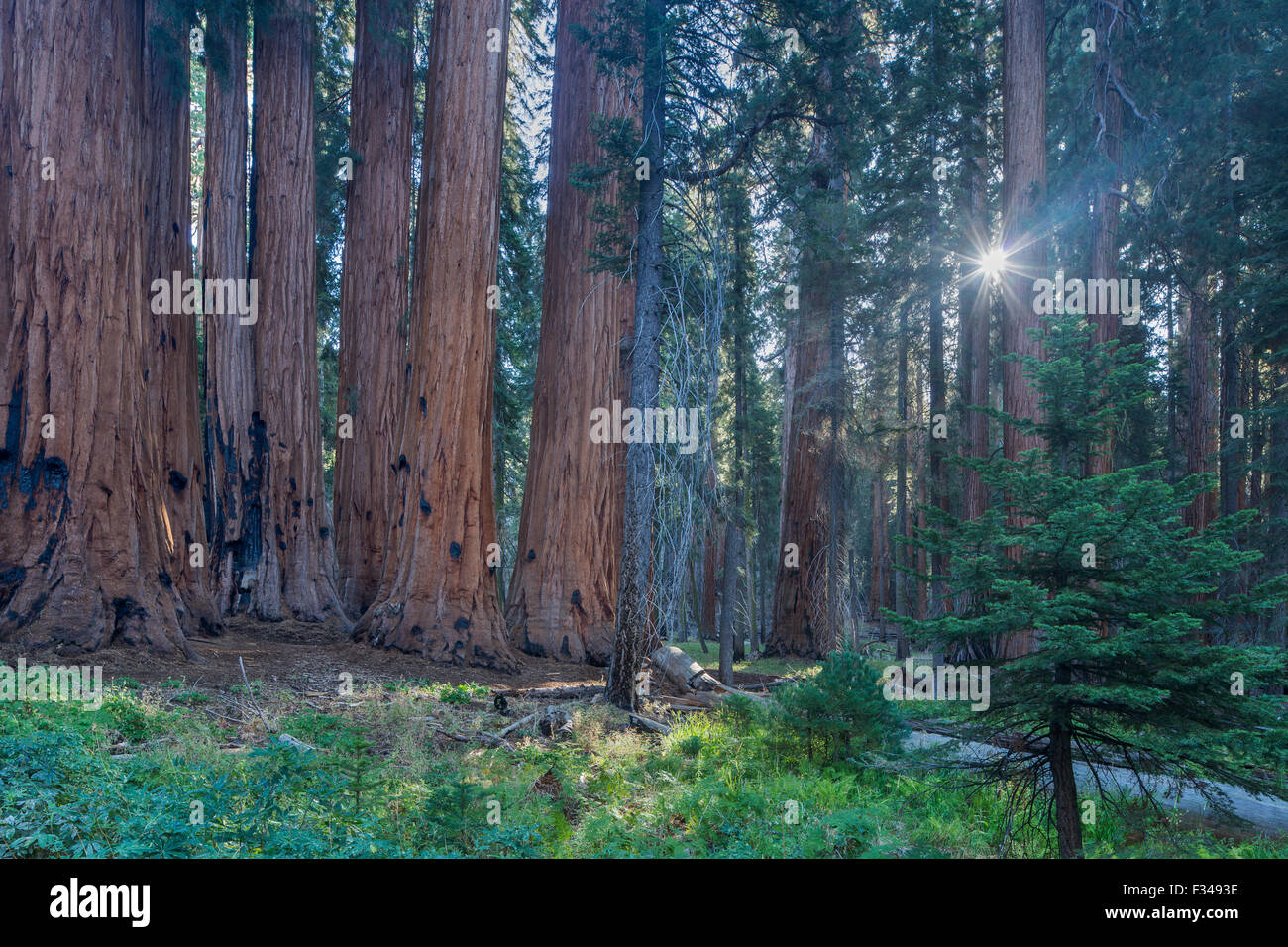 the Senate Group of giant sequoia trees on the Congress Trail in Sequoia National Park, California, USA - Stock Image