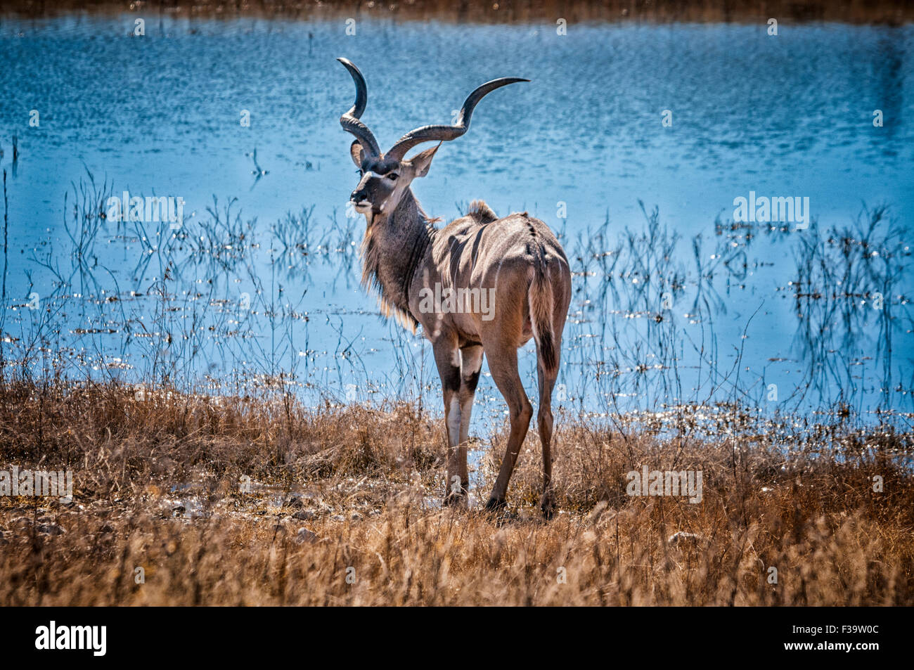 solitary-male-greater-kudu-tragelaphus-strepsiceros-standing-by-a-F39W0C.jpg