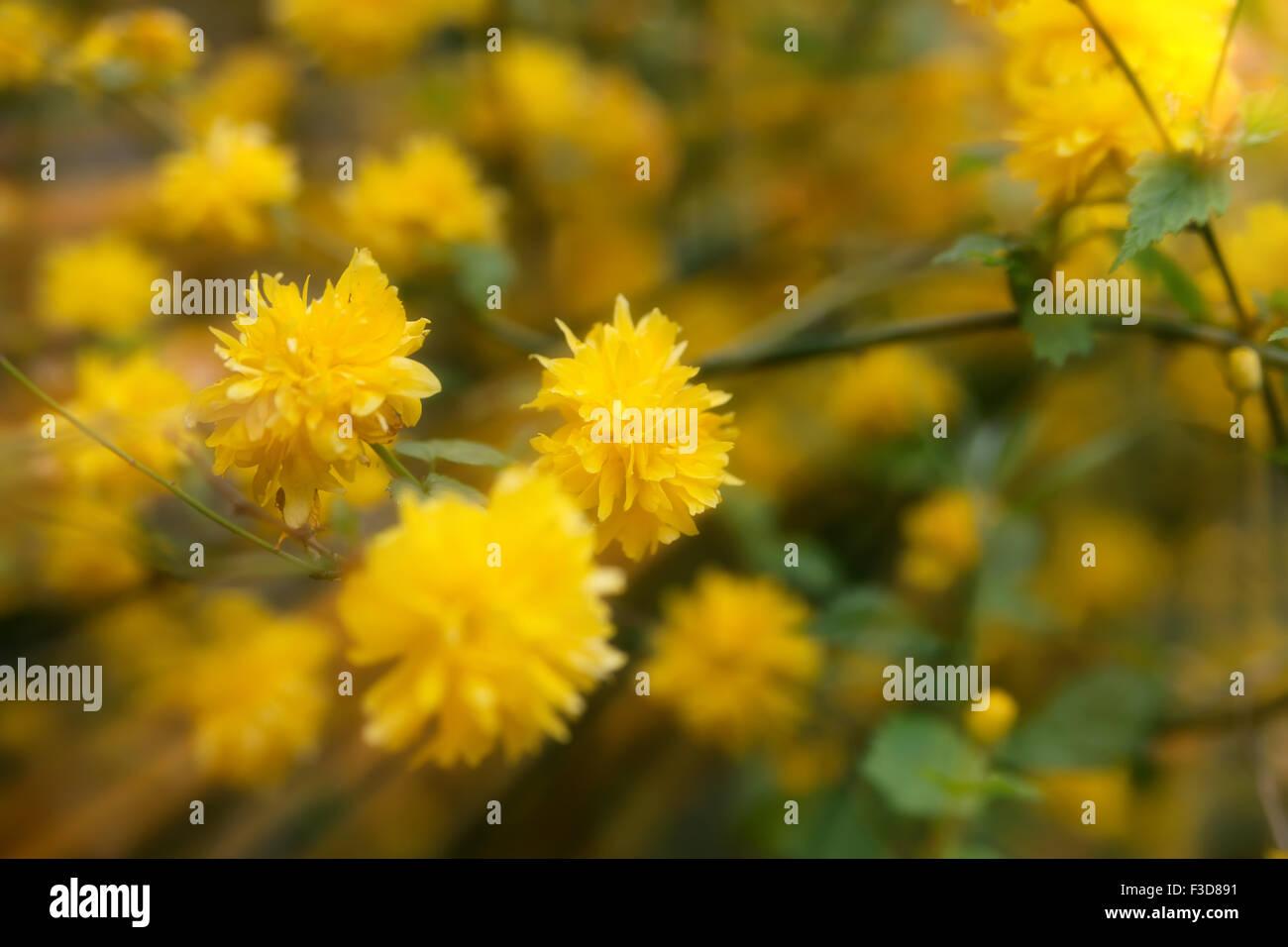 Beautiful yellow flowers blossoming in spring time under sunshine beautiful yellow flowers blossoming in spring time under sunshine natural background ireland mightylinksfo