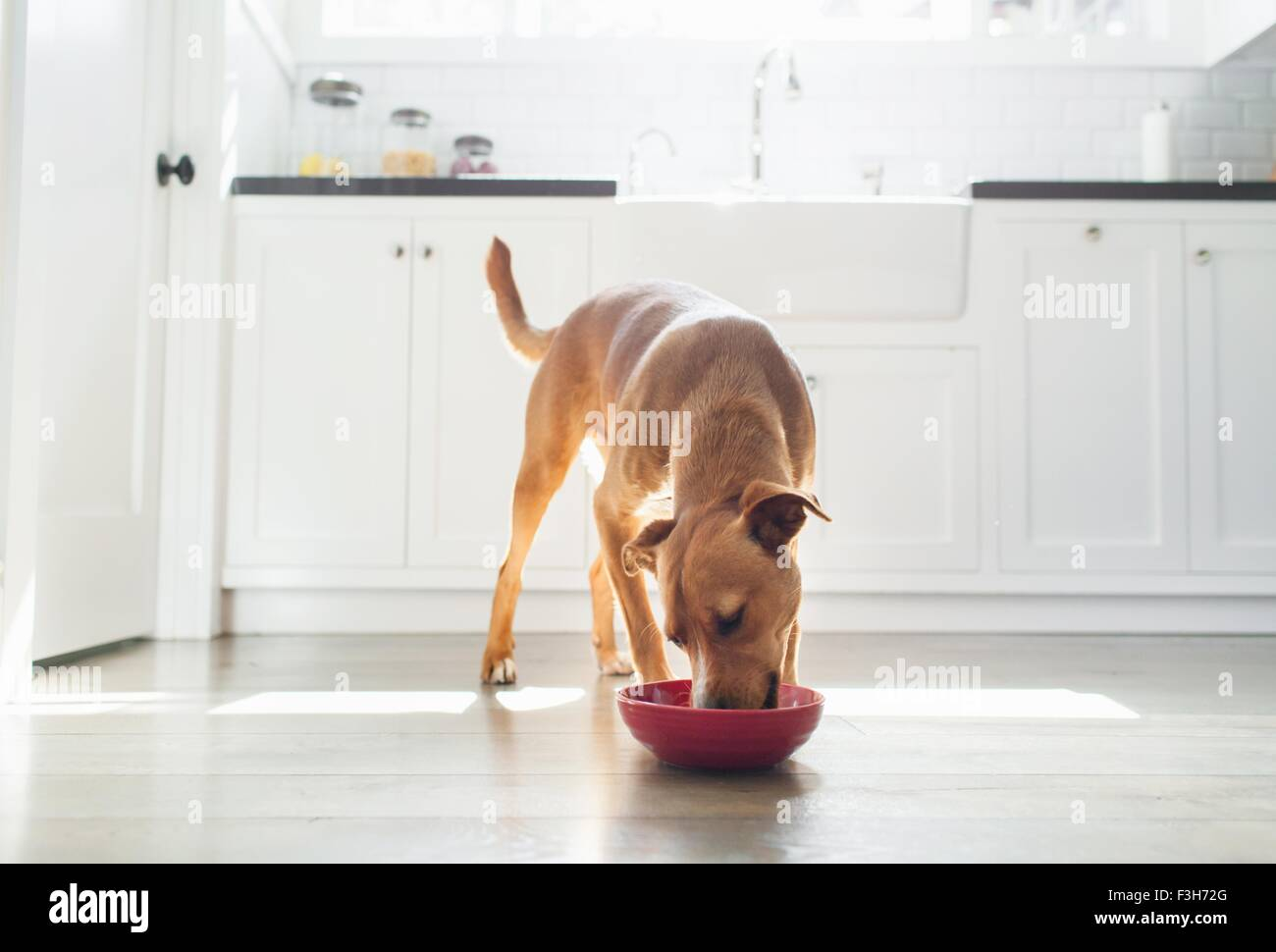 Front view of tan coloured dog in kitchen eating from red bowl - Stock Image
