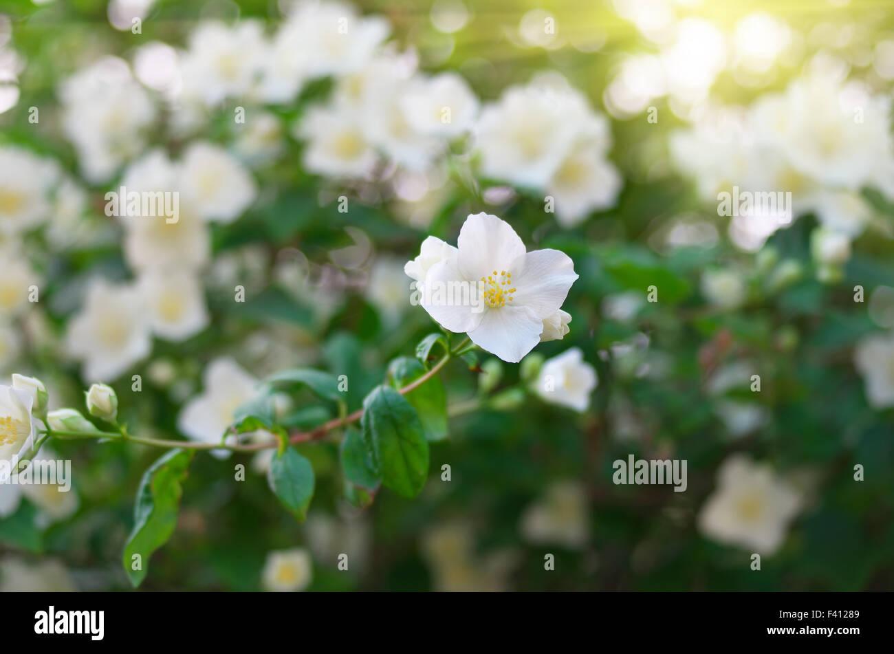 Jasmine flower composition of nature stock photo 88534217 alamy jasmine flower composition of nature izmirmasajfo
