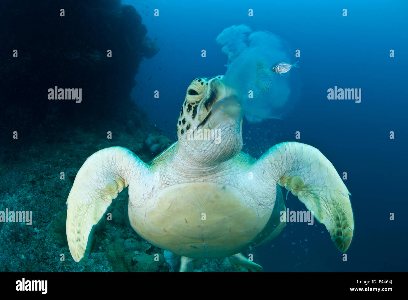 Green turtle (Chelonia mydas) feeding on jellyfish. Juvenile mackerel still hides beside the jellyfish about to - Stock Image