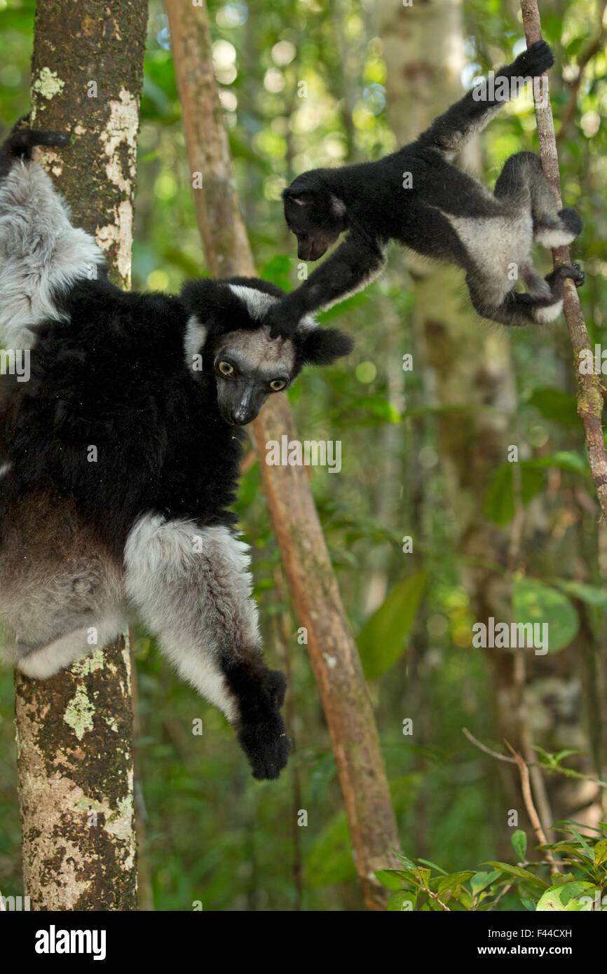 Indri (Indri indri) female with 2 month baby, learning to climb in rainforest habitat. Madagascar. - Stock Image