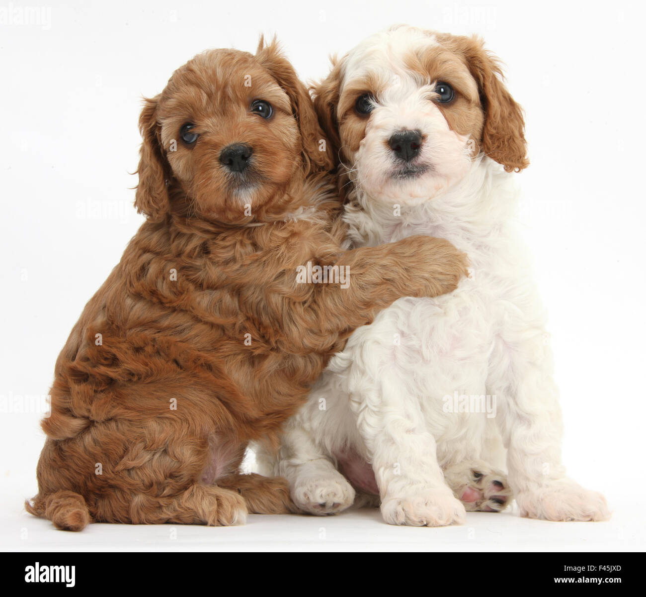 Fantastic Cavapoo Brown Adorable Dog - cute-red-and-red-and-white-cavapoo-puppies-5-weeks-hugging-against-F45JXD  HD_24763  .jpg