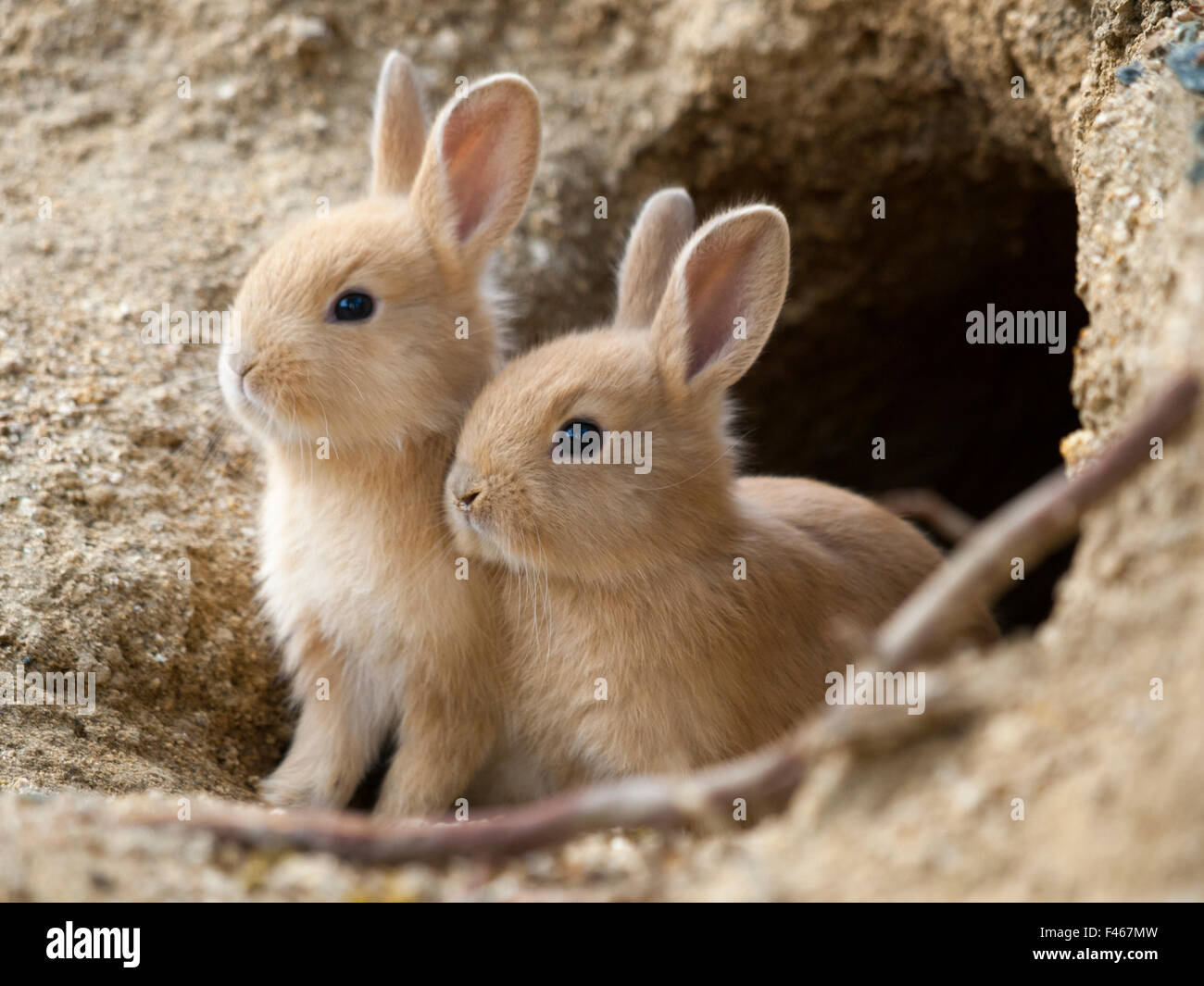 feral domestic rabbit oryctolagus cuniculus babies at burrow stock