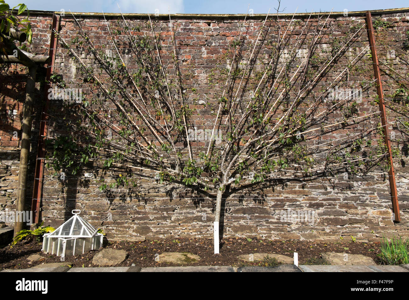Victoria Plum tree espaliered against the Melon Yard wall at The ...