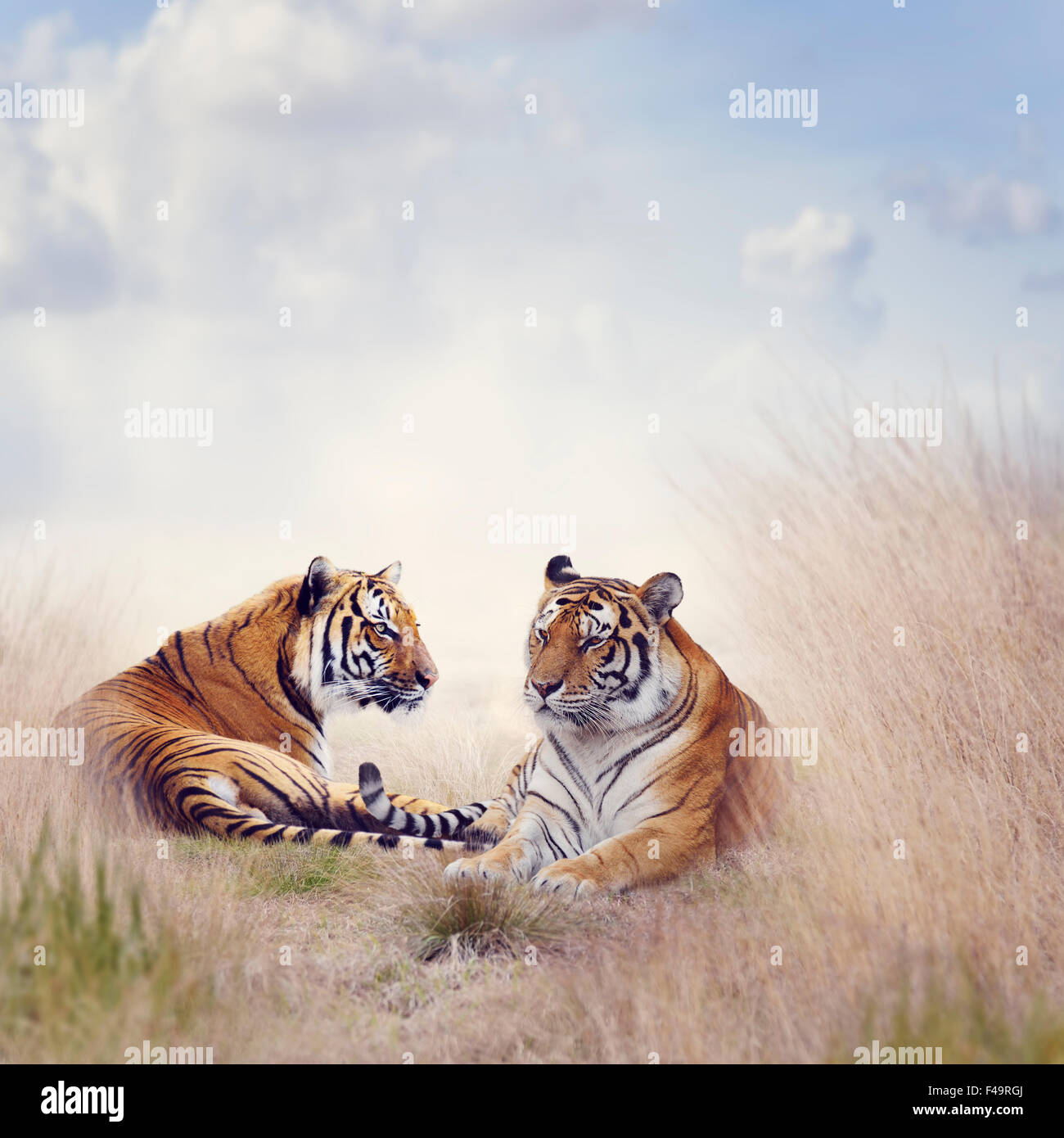 Two Tigers Resting in a Tall Grass - Stock Image