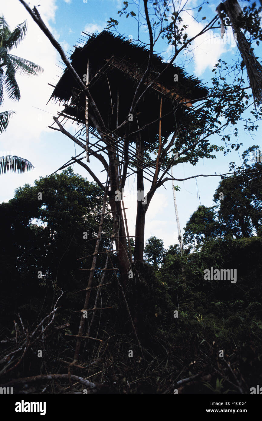 Indonesia, Irian Jaya, Tree House in tree. (Large format sizes available) - Stock Image
