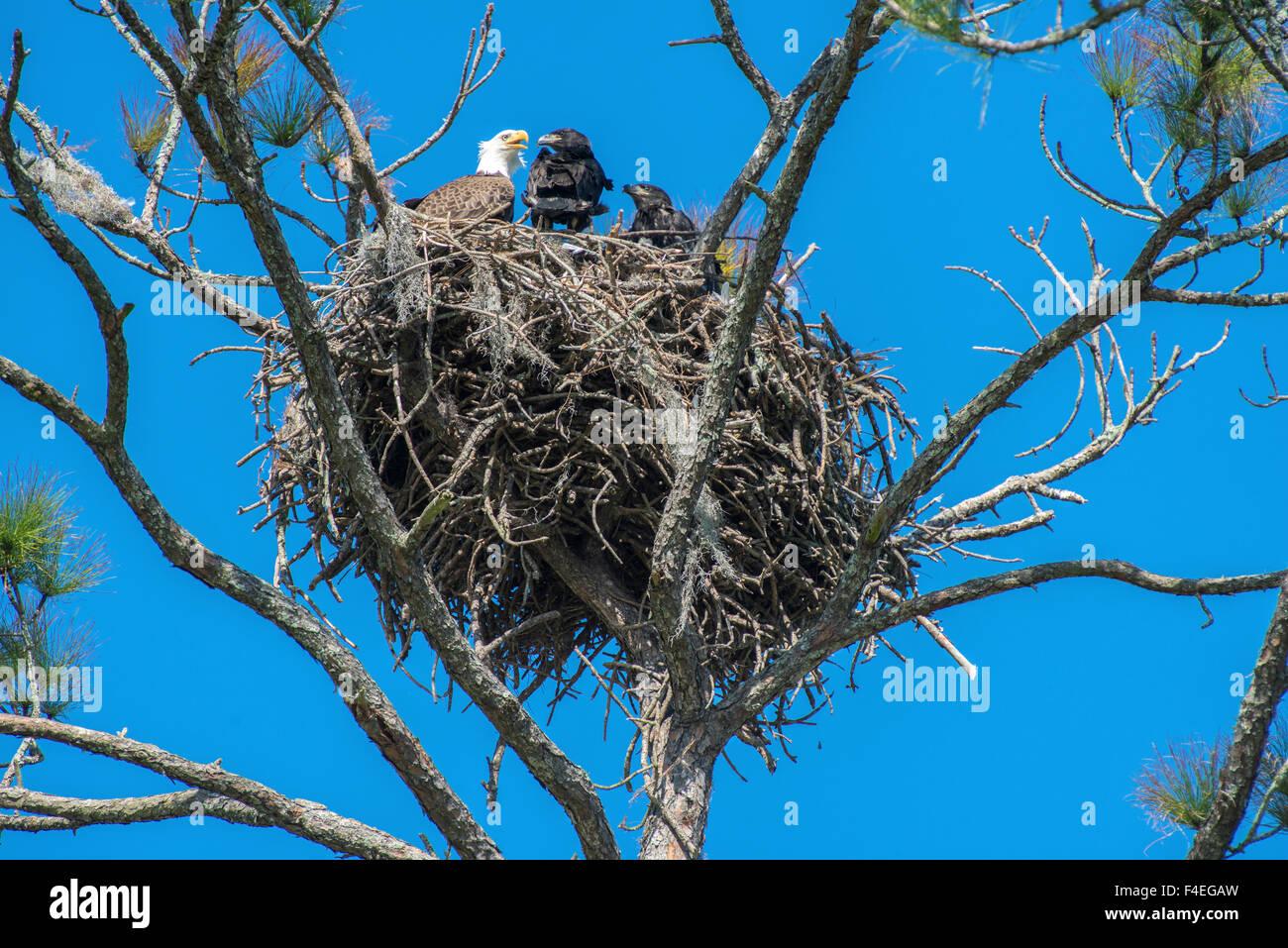 Usa Florida Daytona Bald Eagle On Nest Large Format Sizes Stock