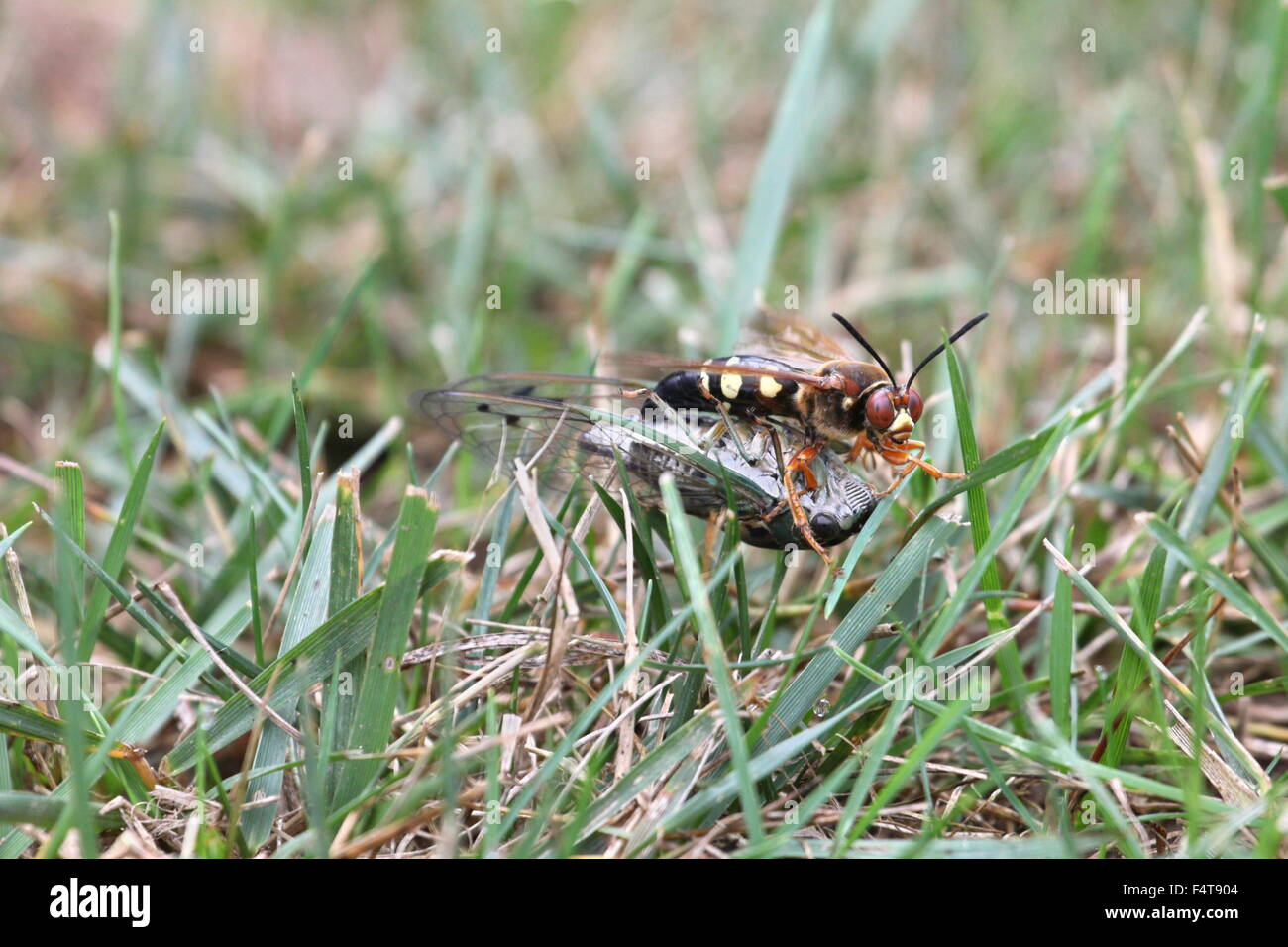 Cicada killer dragging a cicada in grass. Stock Photo