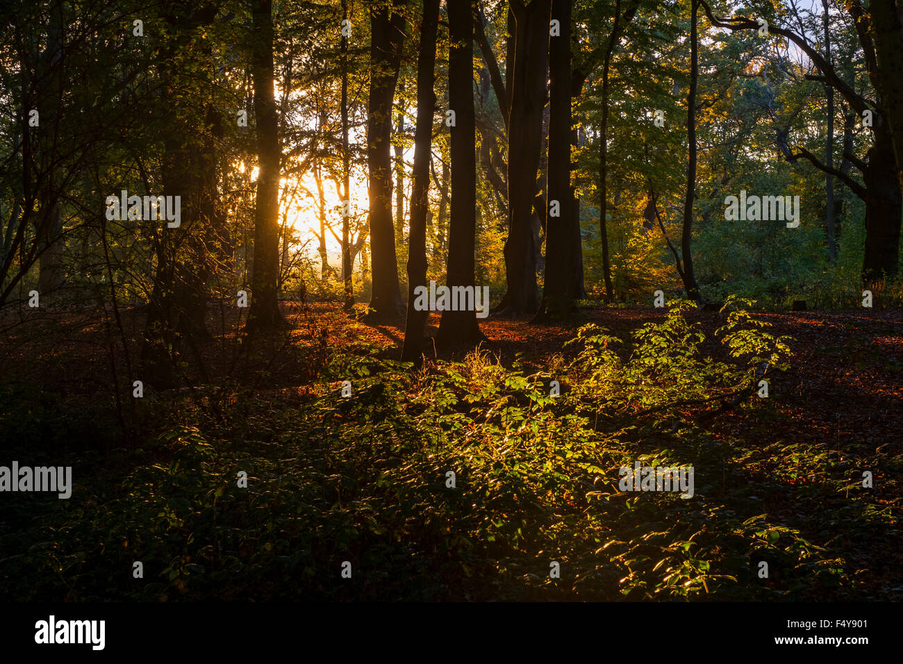 A Golden Sunset on English Woodland in Hanbury, Worcestershire. - Stock Image