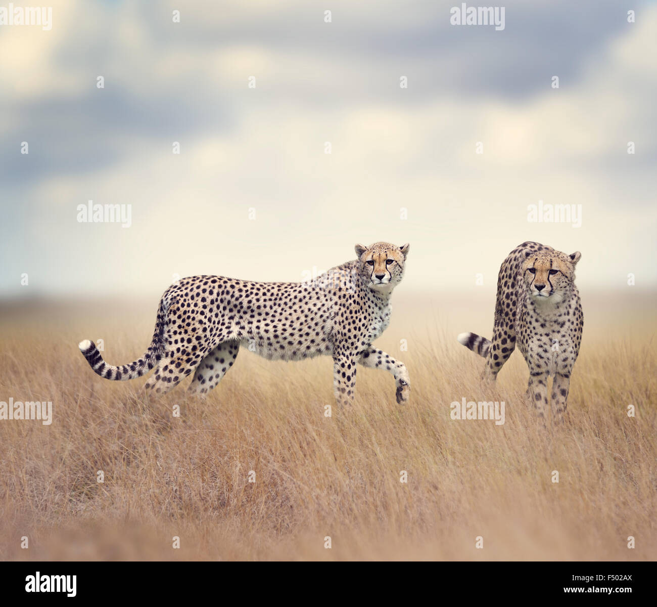 Two Cheetahs Walking In Tall Grass - Stock Image