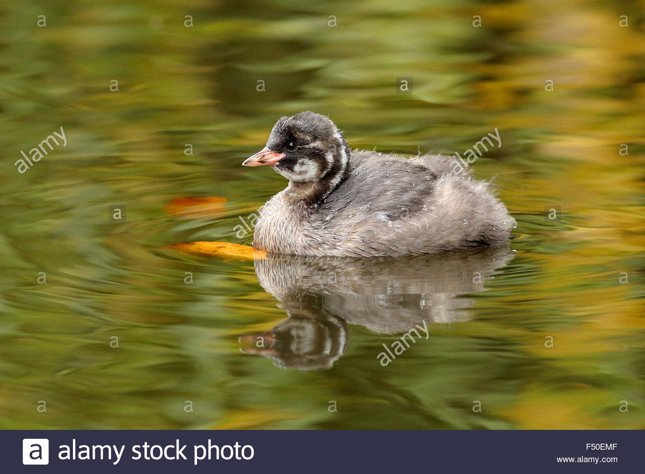 A Juvenile Little Grebe reflecting on a pond. - Stock Image