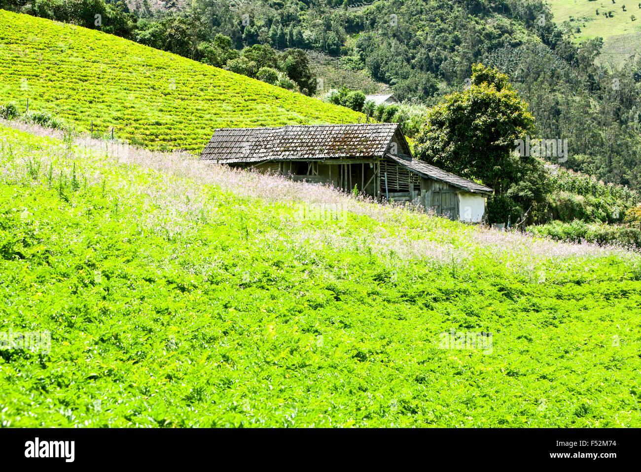 Green Lettuce Filed - Stock Image