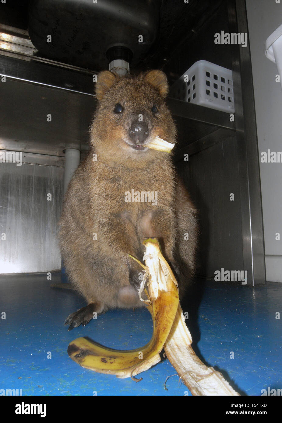 Quokka (Setonix brachyurus) eating a banana peel that it has stolen from the bin in accommodation hut, RottnestStock Photo