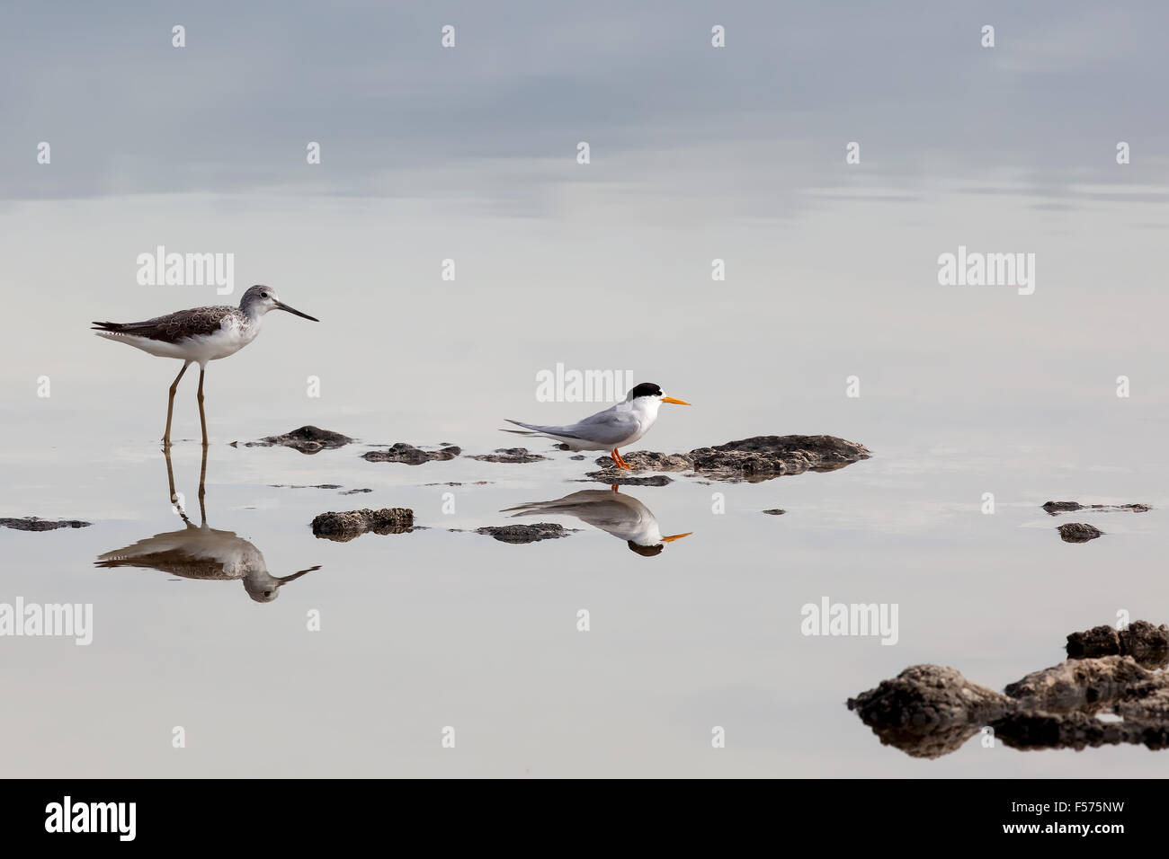 Bar-tailed Godwit (Limosa lapponica) and Little Tern (Sternula albifrons) or (Sterna albifrons), Nambung National Stock Photo