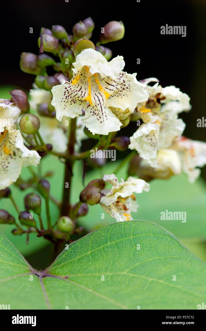 Catalpa bignoniodes indian bean tree close up of leaves and white catalpa bignoniodes indian bean tree close up of leaves and white flowers july gloucestershire mightylinksfo