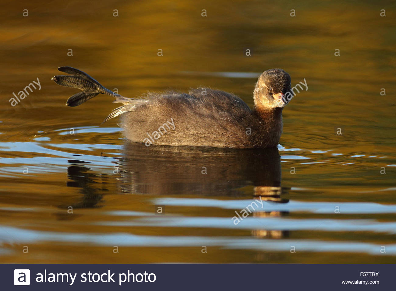 A juvenile Little Grebe stretching in a pond. - Stock Image