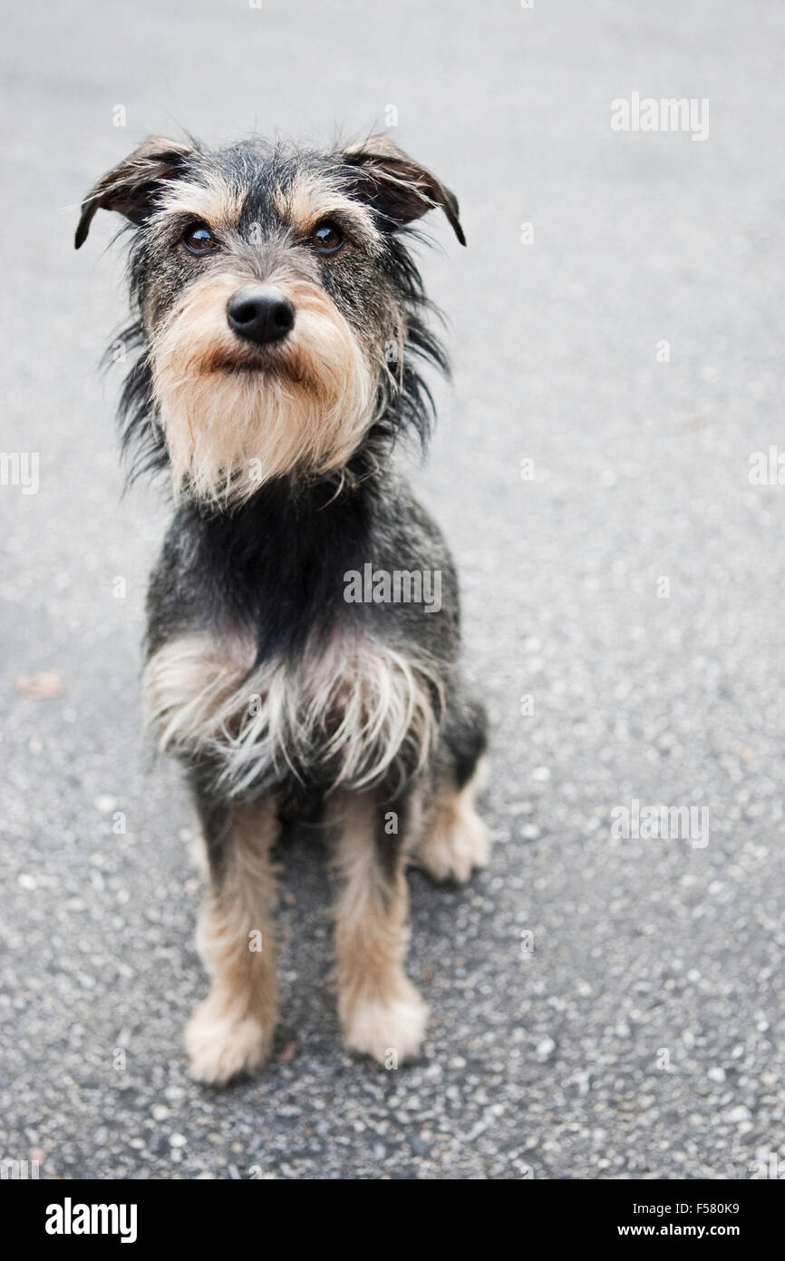 Beste Wirehaired Terrier Mix Welpen Temperament Fotos - Die Besten ...