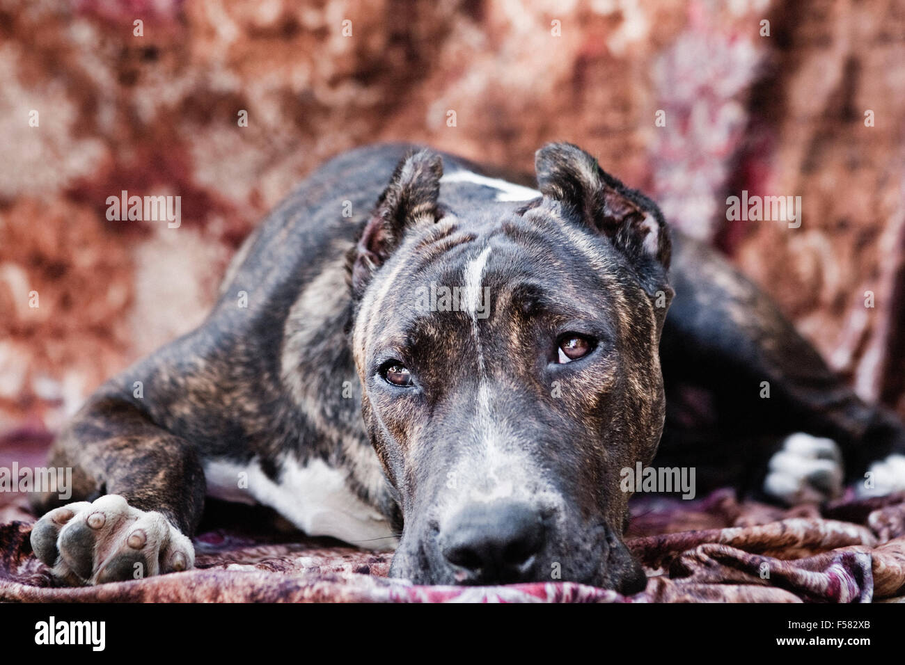 Adult Cane Corso dog laying down on a multi-colored fabric backdrop facing camera with eye contact Stock Photo