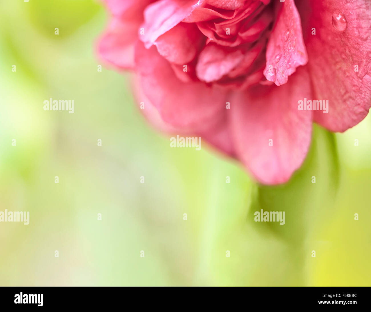 Beautiful deep pink hothouse camellia bloom macro close up with water droplets and copy space. Stock Photo