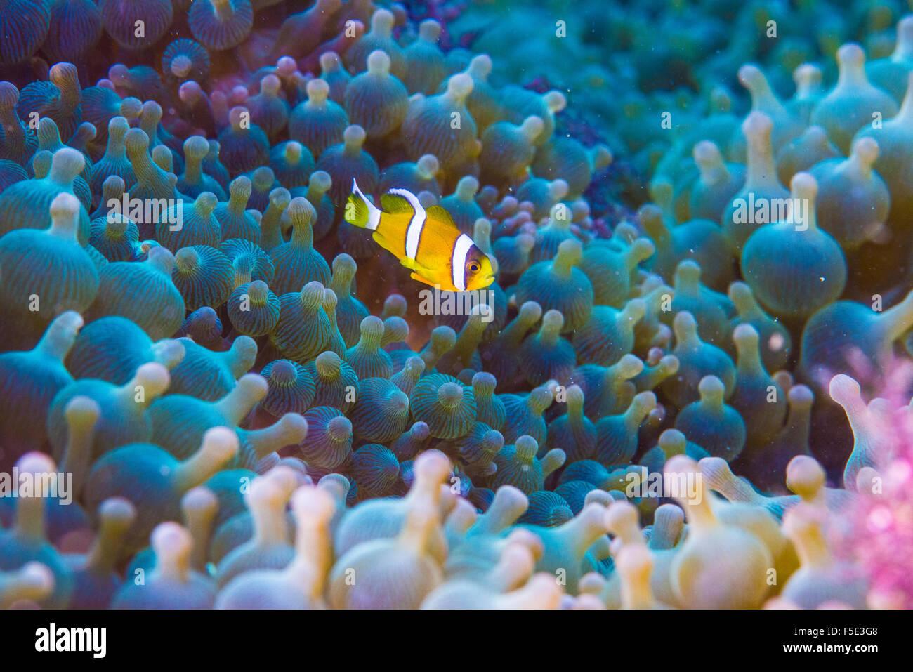 Kids anemone fish anemone fish, 1cm long, swimming around his big sea anemone house. at Kajika Owase Mie Japan - Stock Image