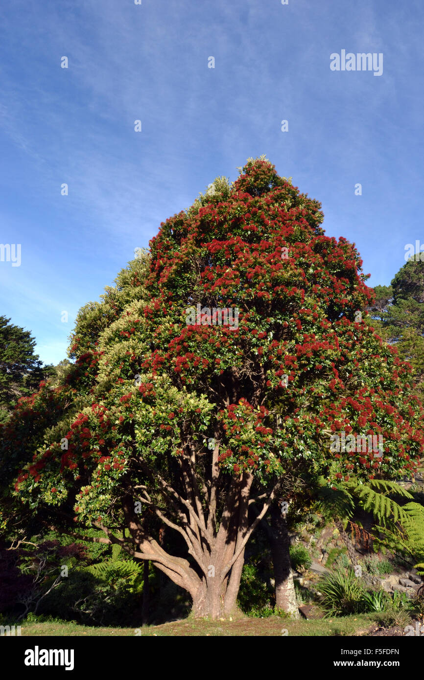 Pohutukawa tree or New Zealand Christmas Tree, Metrosideros excelsa ...