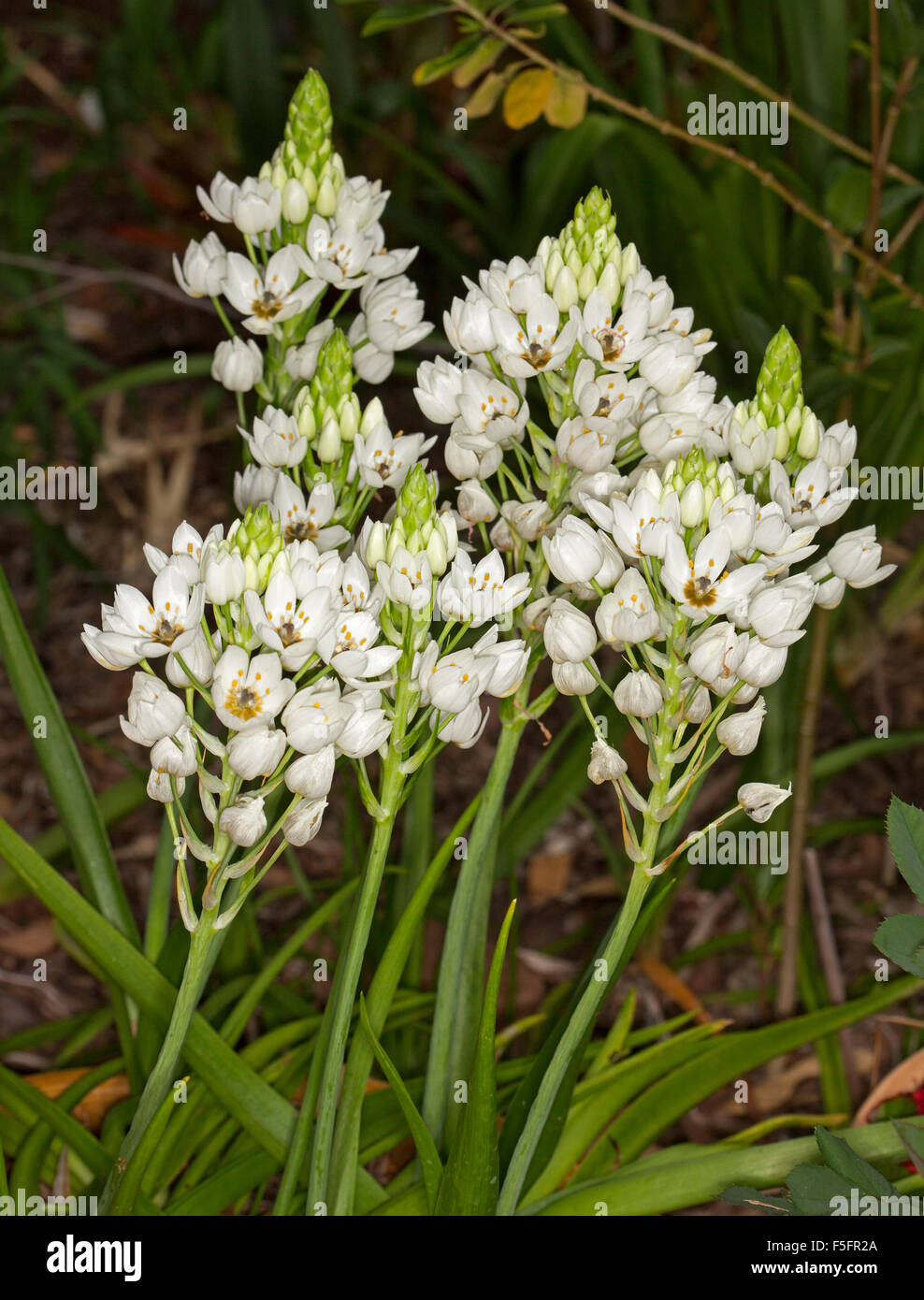 Cluster Of White Flowers And Emerald Green Leaves Of Ornithogalum