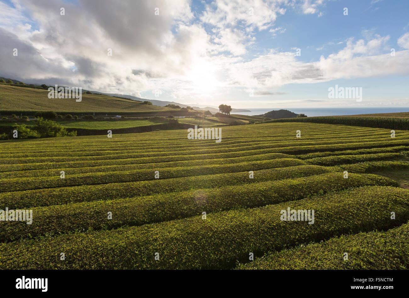 plantacoes-de-cha-gorreana-gorreana-tea-plantation-maia-sao-miguel-F5NCTM.jpg