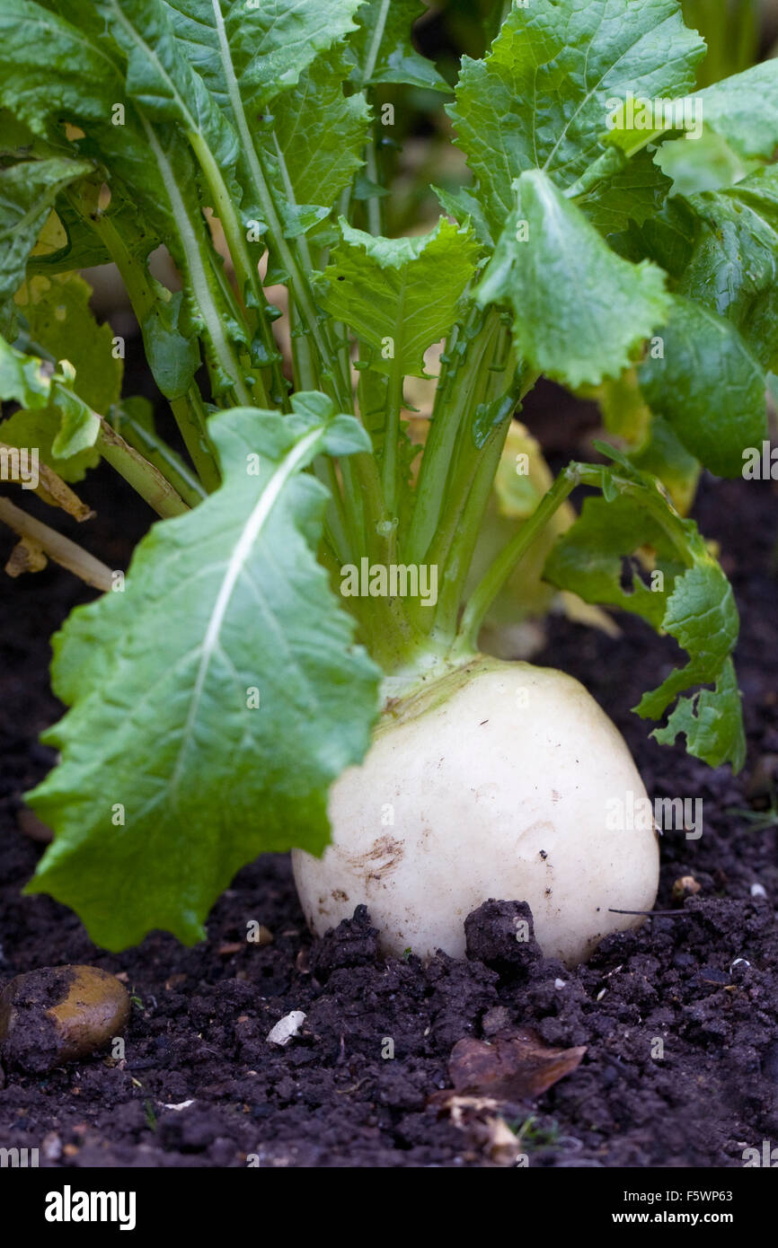 Brassica rapa. Turnip 'Tiny Pal' growing in a vegetable garden. - Stock Image