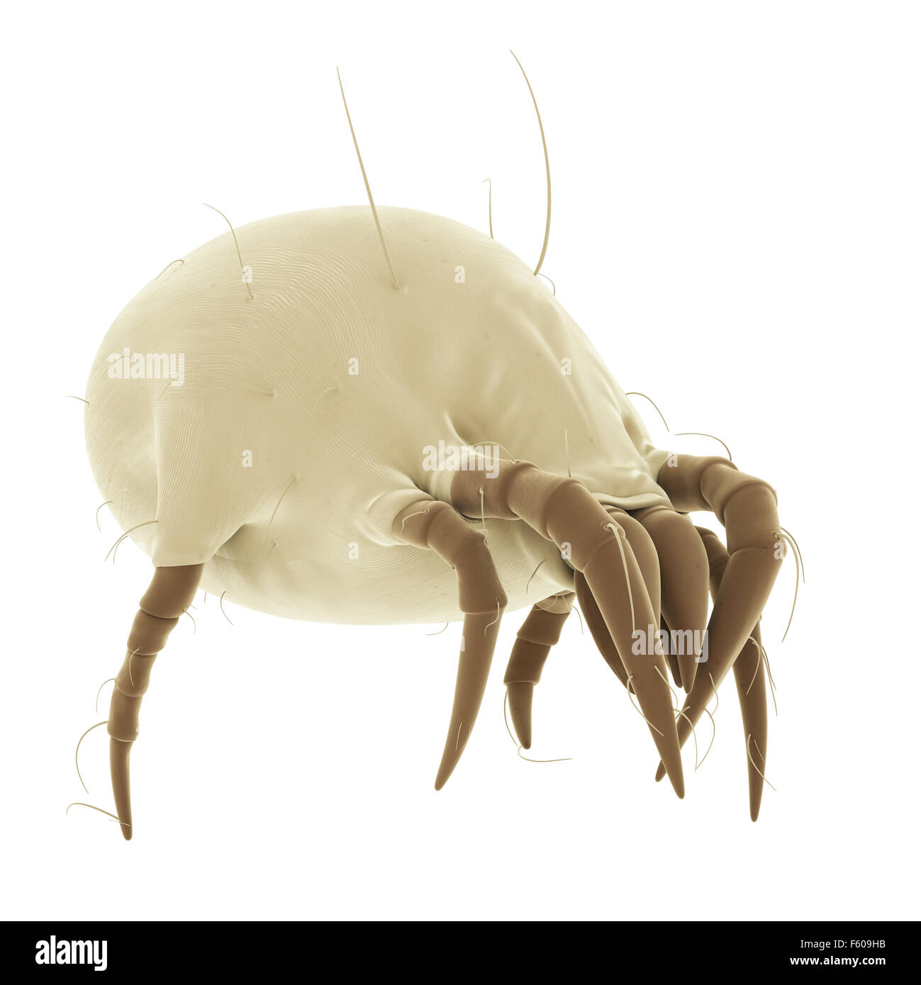medically accurate illustration of a common dust mite - Stock Image