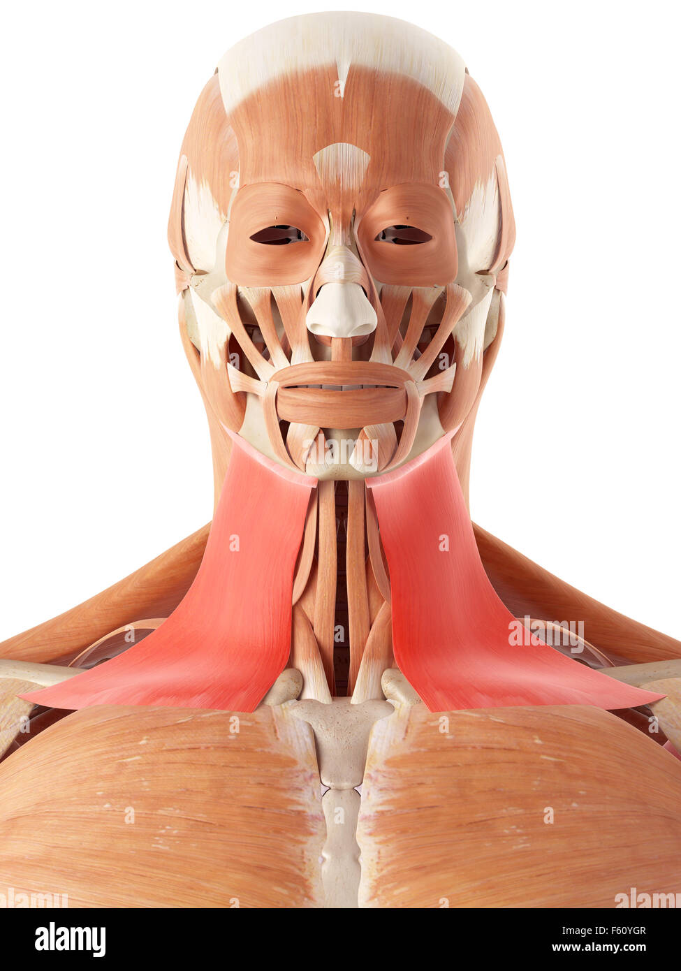 Medically Accurate Illustration Of The Platysma Stock Photo
