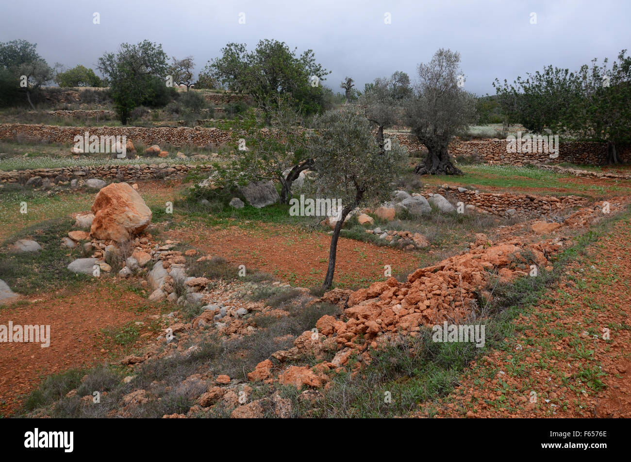 olive and almond trees in orchard near Santa Agnes de Corona, Ibiza ...
