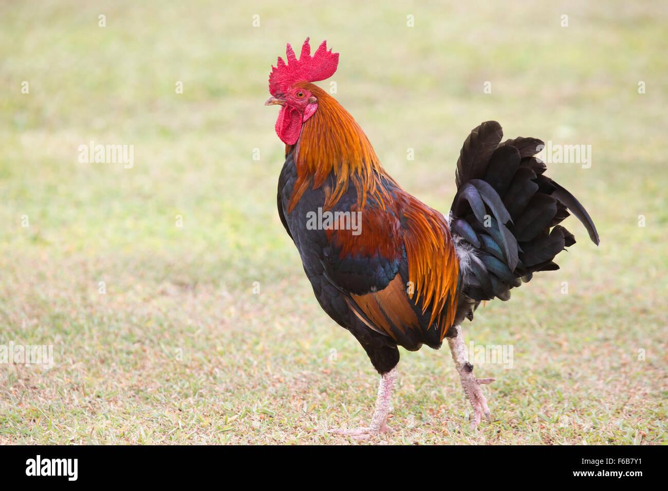 Kauai rooster (Gallus gallus domesticus) - Stock Image