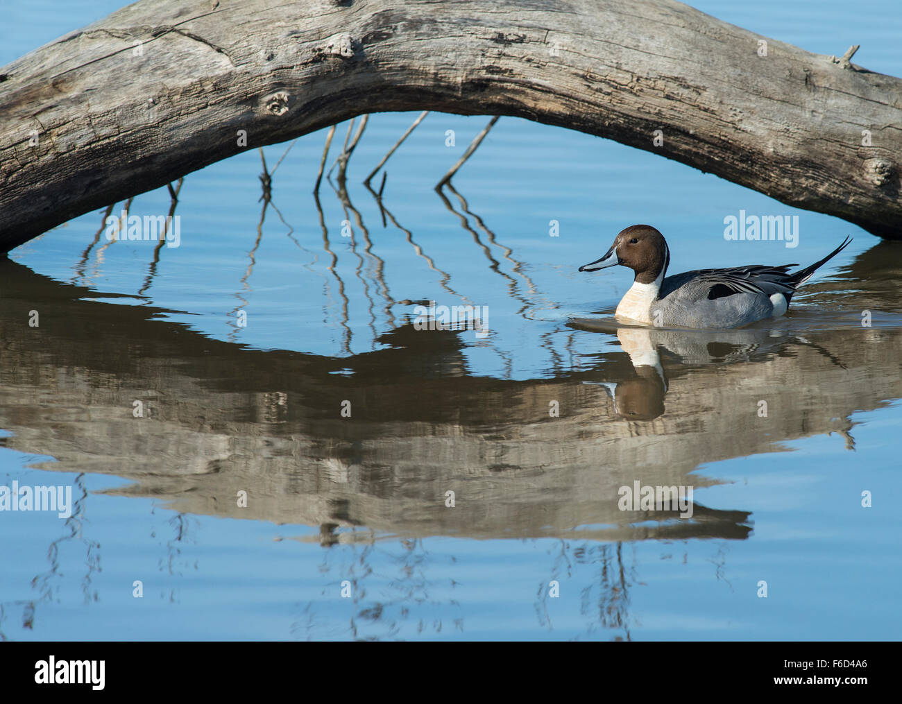 Northern Pintail (Anas acuta) swimming under arched log - Stock Image