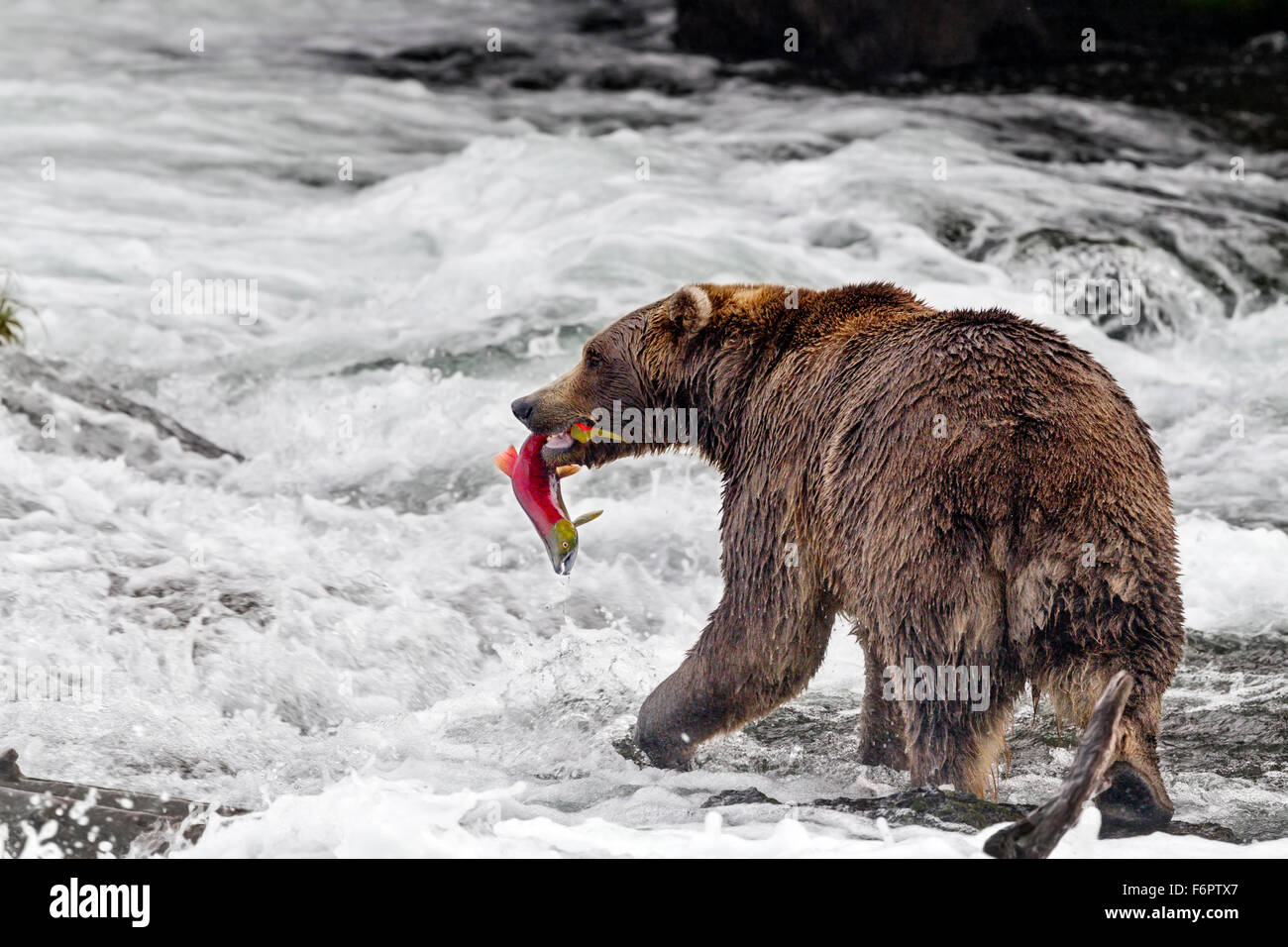 Male brown bear catching spawning red salmon at Brooks Falls, Katmai National Park, Alaska - Stock Image