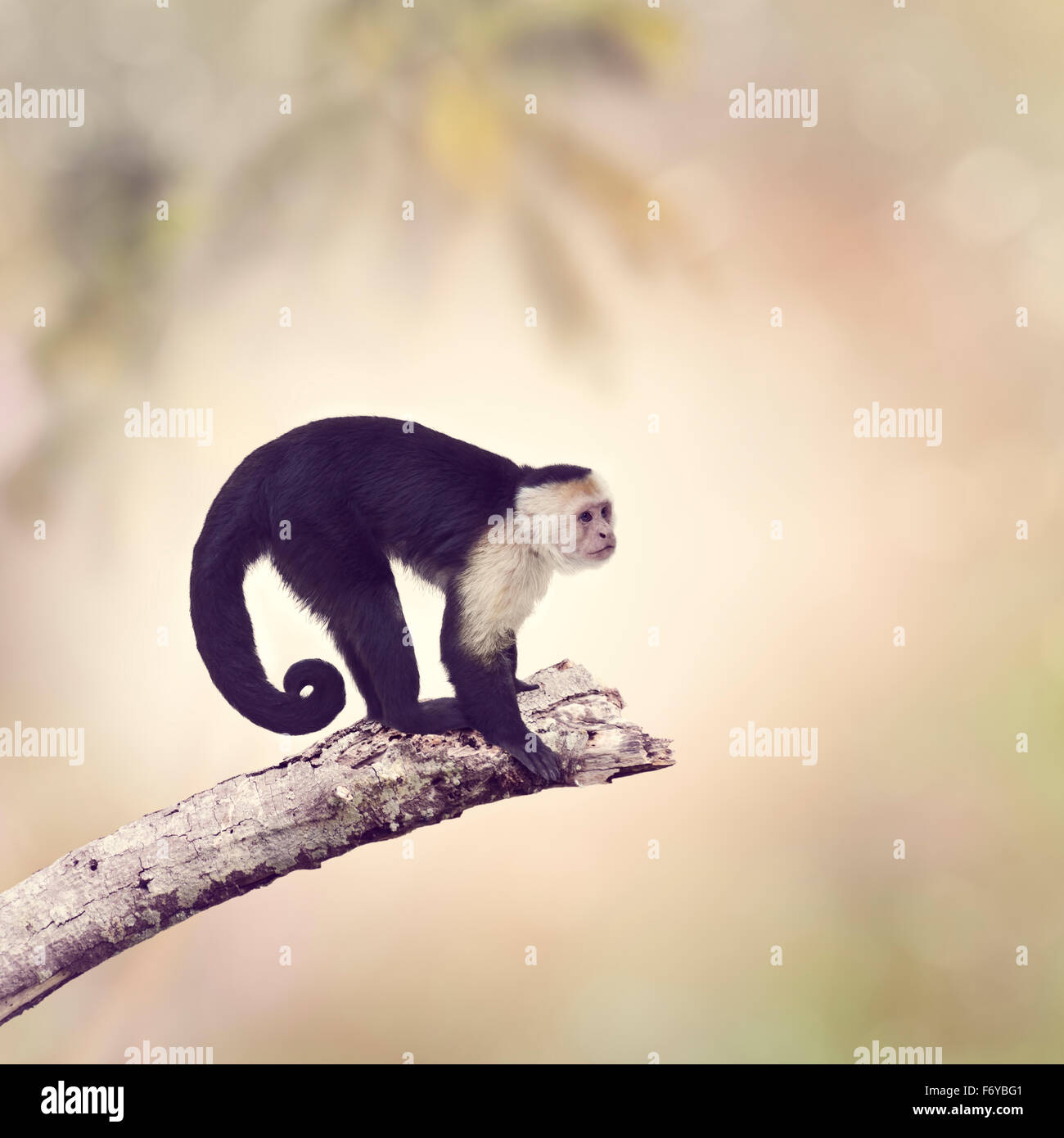 White Throated Capuchin Monkey on a Branch - Stock Image