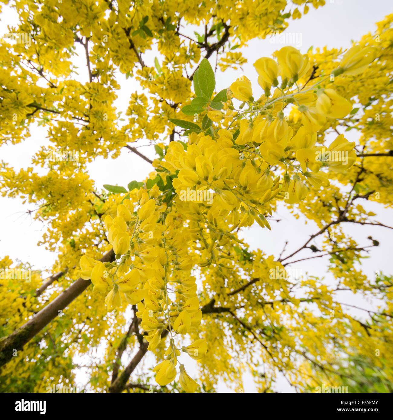 Common Laburnum Tree In Uk Garden Standing Underneath Looking Up