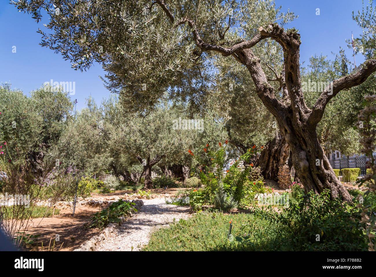 The Garden of Gethsemane on the Mount of Olives in Jerusalem, Israel ...