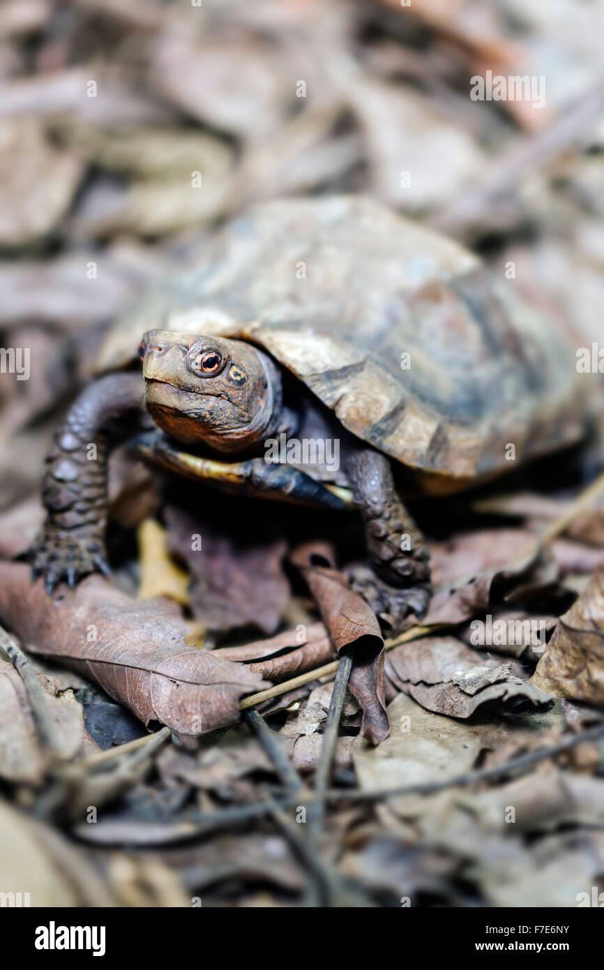 The endangered Keeled Box Turtle (Cuora mouhotii) in captivity at the Cuc Phuong Turtle Conservation Center in Vietnam. - Stock Image