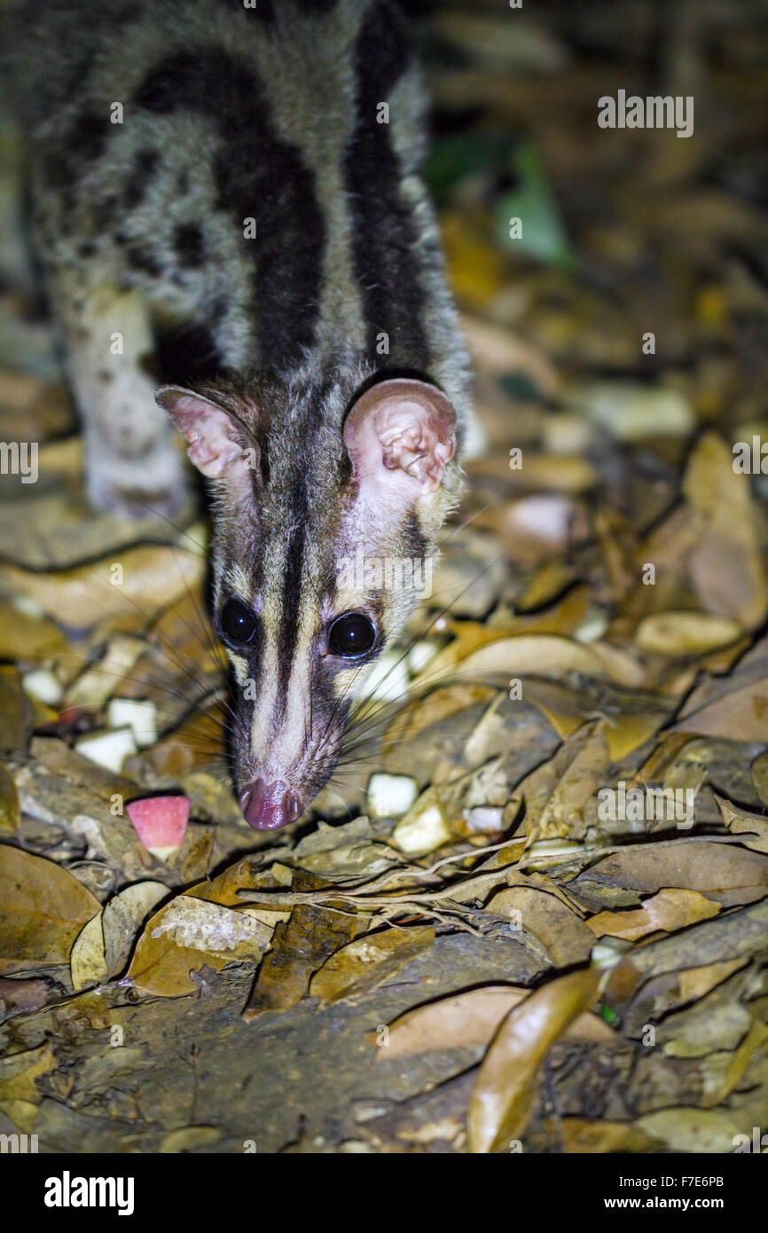 Captively bred Owston's Civet (Chrotogale owstoni), Save Vietnam's Wildlife/Carnivore & Pangolin Conservation - Stock Image