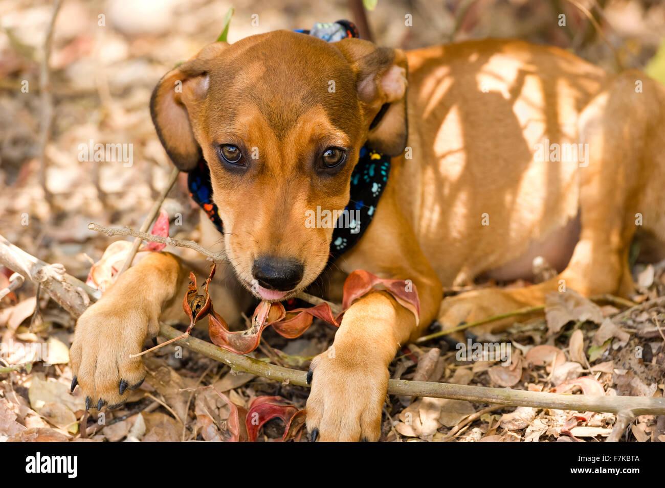 Best Cute Canine Brown Adorable Dog - cute-dog-face-is-an-adorable-brown-puppy-dog-with-big-brown-eyes-and-F7KBTA  Graphic_364298  .jpg